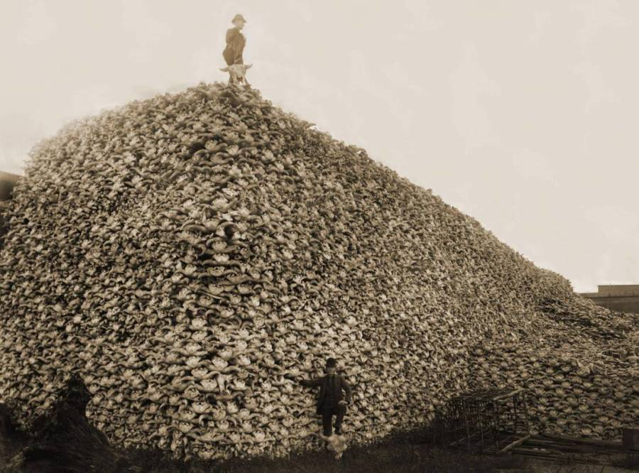 American Bison Pile Skulls