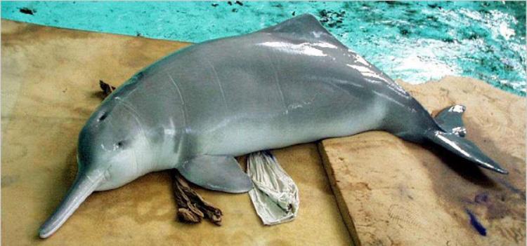 Baiji Dolphin Picture