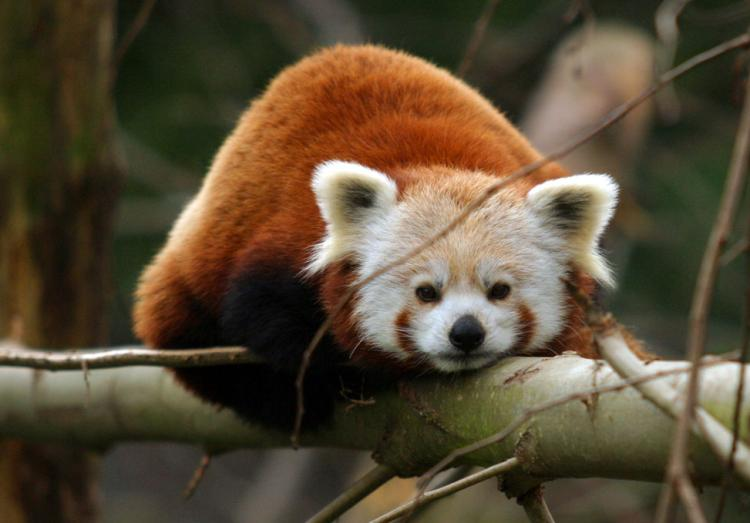 Cutest Animals Red Panda
