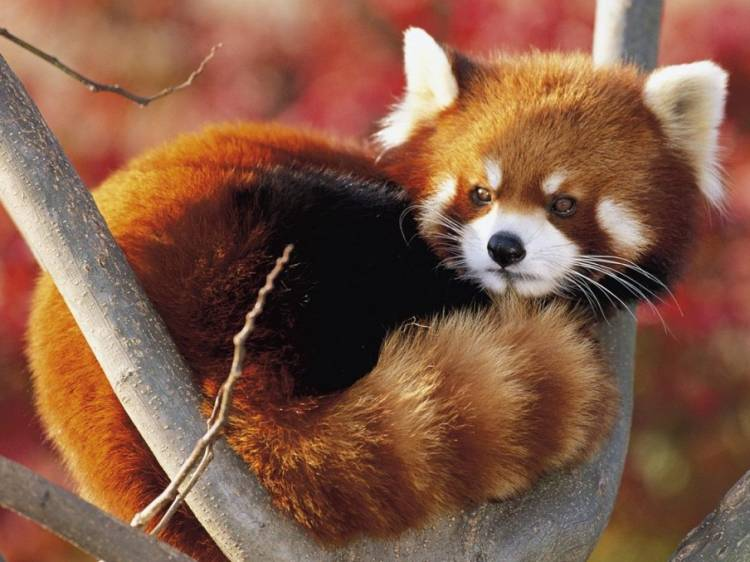 Cutest Animals Red Panda Photograph