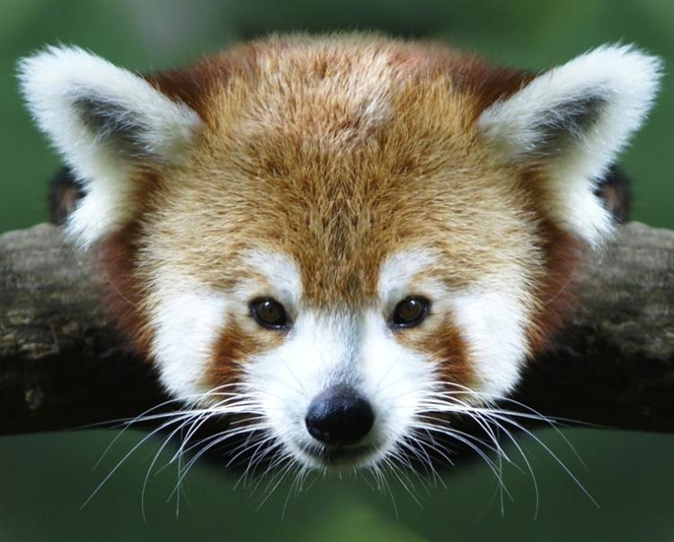 Cutest Animals In The World Red Panda
