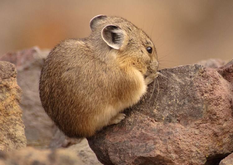 American Pika Cutest Animals