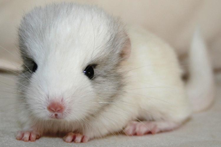 Cutest Animals You've Never Seen Long Tailed Chinchilla