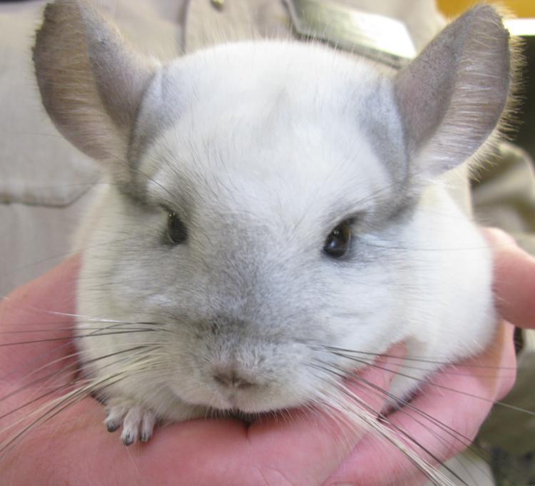 Cutest Animal Chinchilla Photograph
