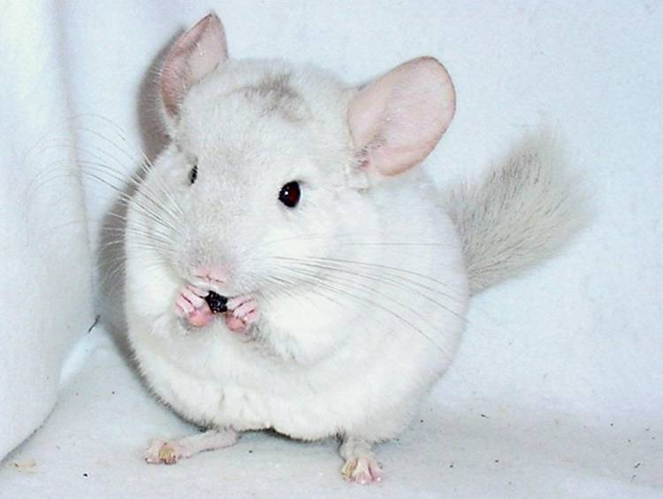 Cute Animals Chinchilla