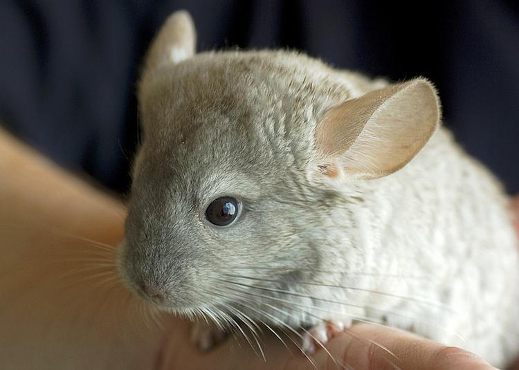 Long Tailed Chinchilla Cutest Animals Ever