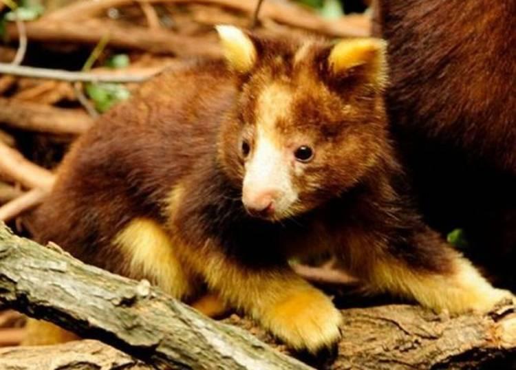 Cutest Animals You've Never Seen Tree Kangaroo