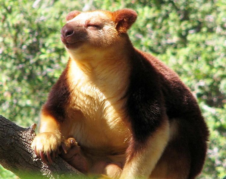 Tree Kangaroo Picture