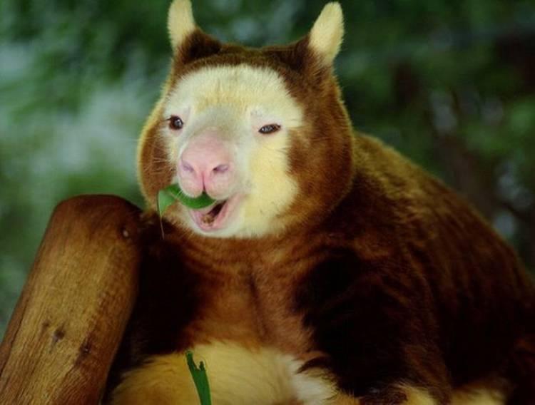 Cute Animal Tree Kangaroo