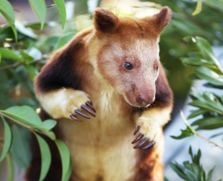 Cutest Animal Ever Tree Kangaroo
