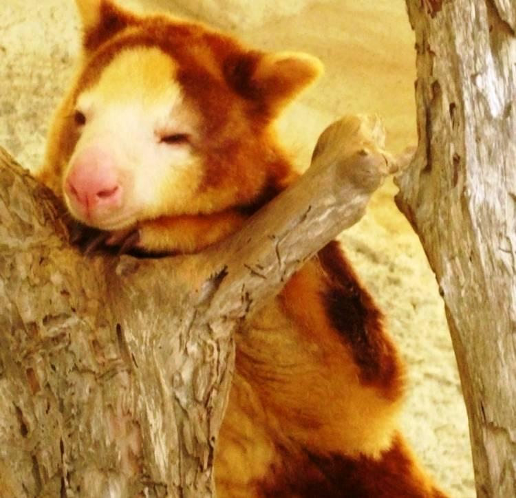 Tree Kangaroo Cute Picture