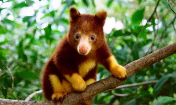 cutest-animal-tree-kangaroo