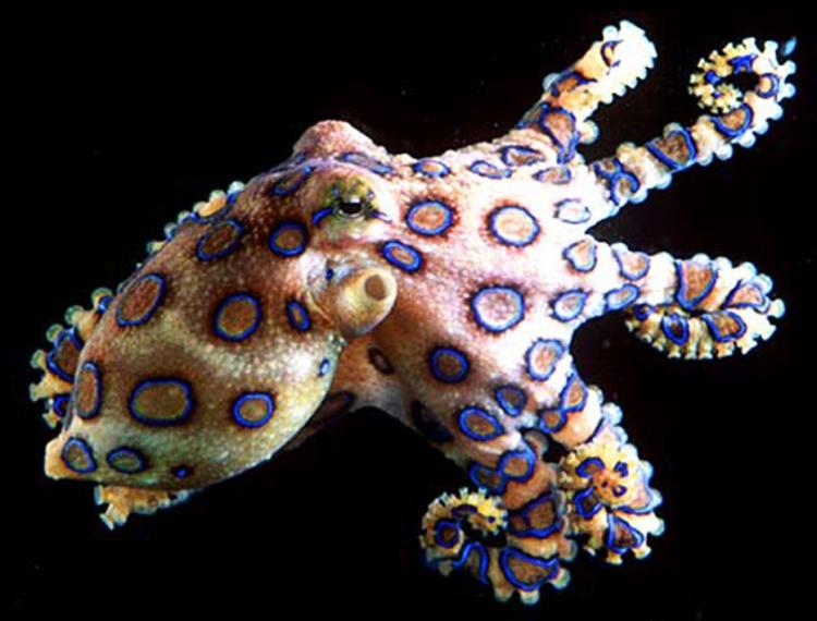 Blue-ringed Octopus Deadliest Animals