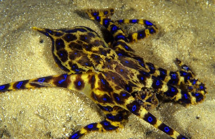 Blue-ringed Octopus Pictures