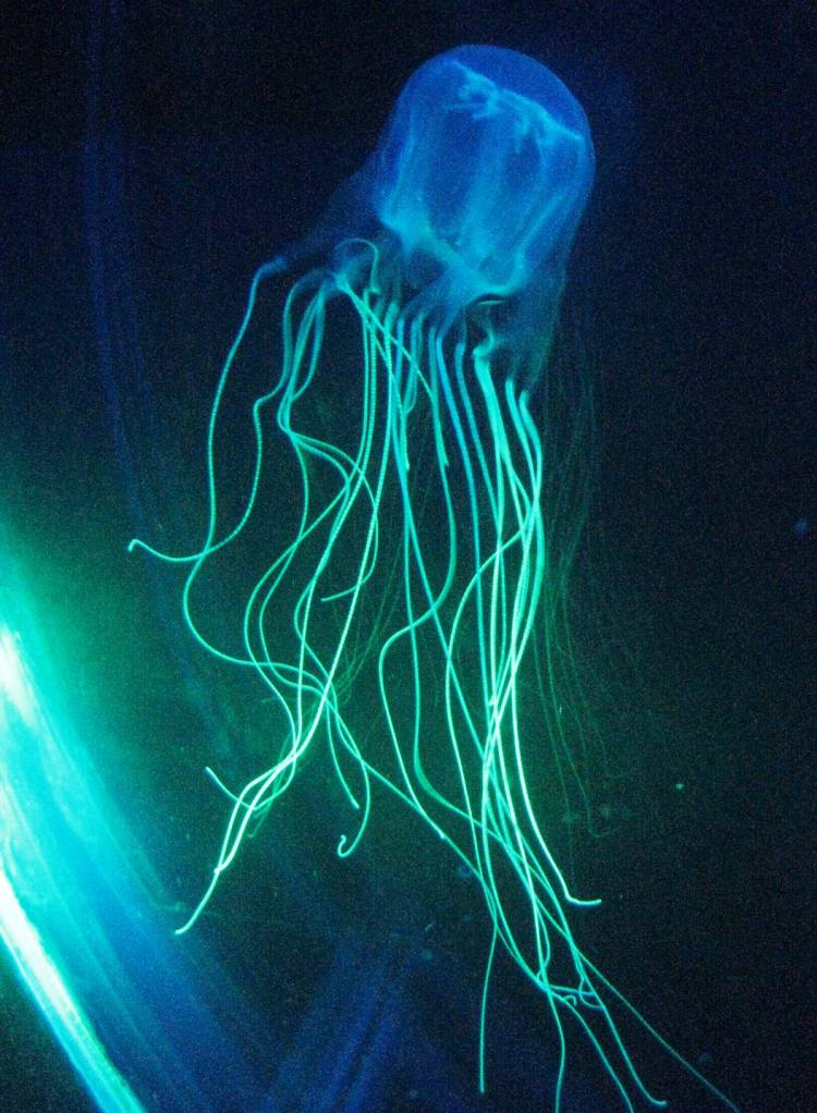 Box Jellyfish Smallest And Deadliest Animals
