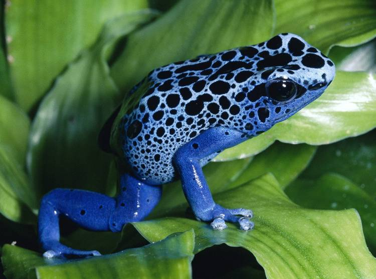 Deadliest Animals Dart Frog