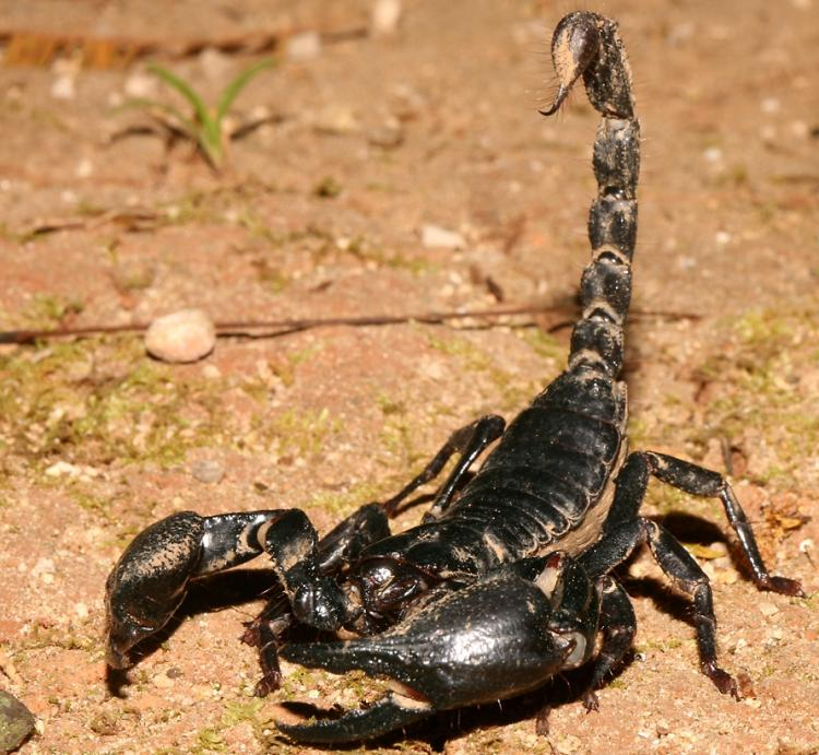 Deadliest Animals Deathstalker Scorpion