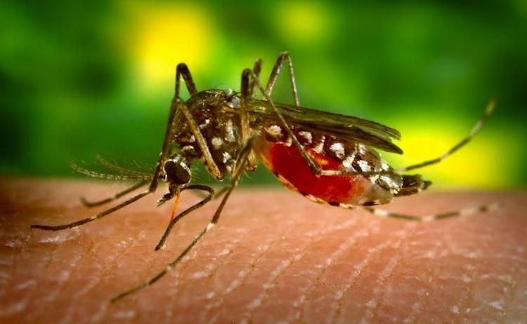Mosquitos Deadliest Animals