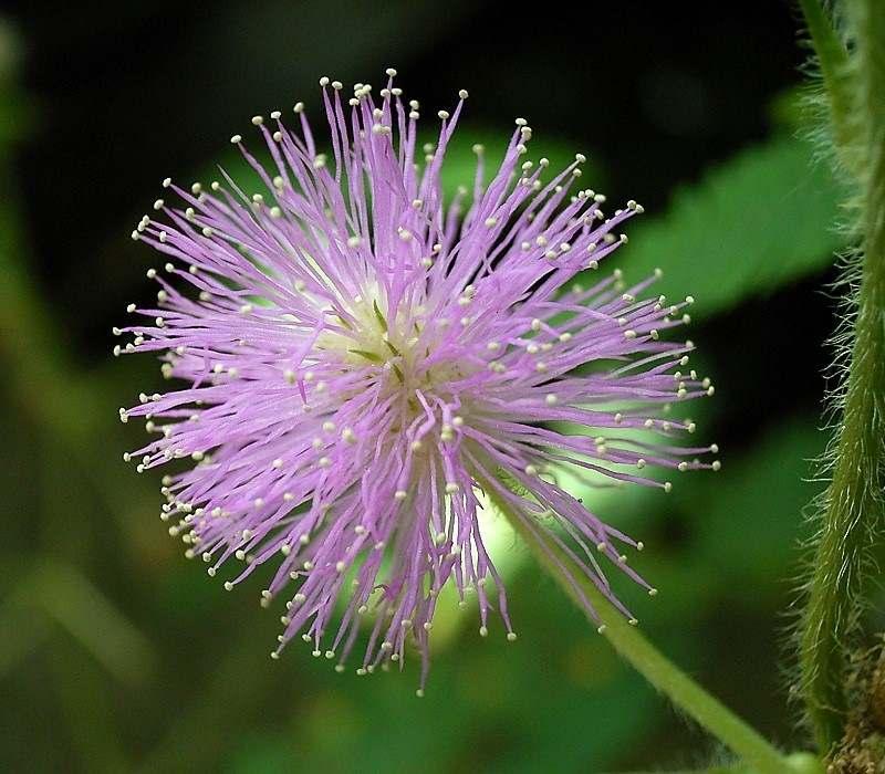 Mimosa Pudica Strangest Plants