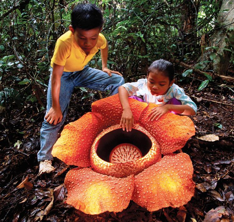 World's Strangest Plants Rafflesia Arnoldii Photograph