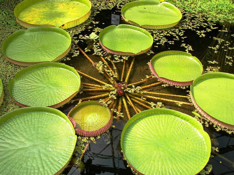 Victoria Amazonica World's Strangest Plants