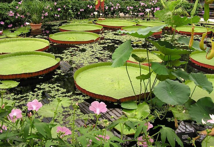 Victoria Amazonica Gigantic Water Lily