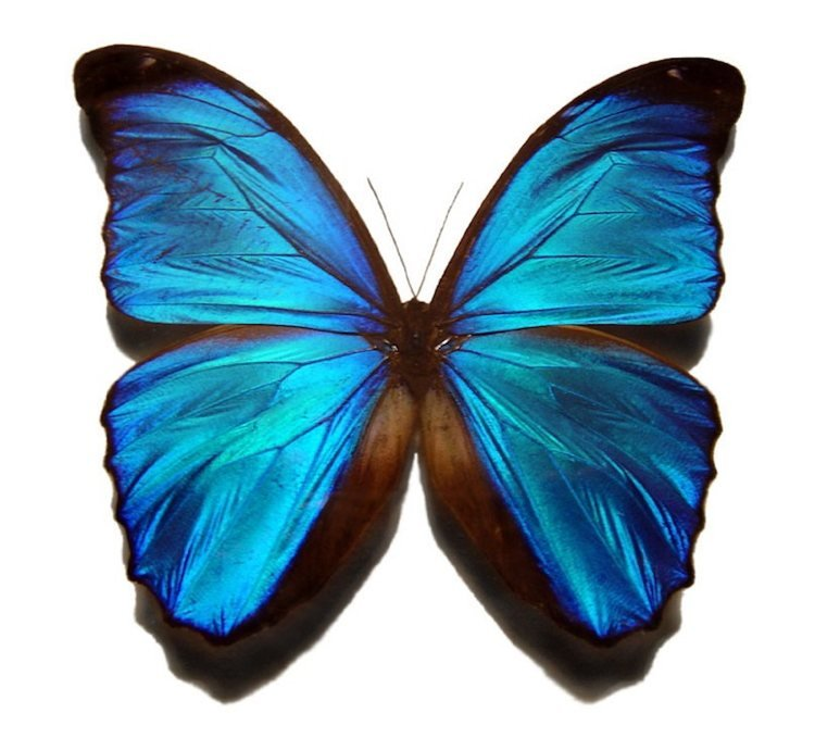 Blue Morpho Most Beautiful Butterflies In The World