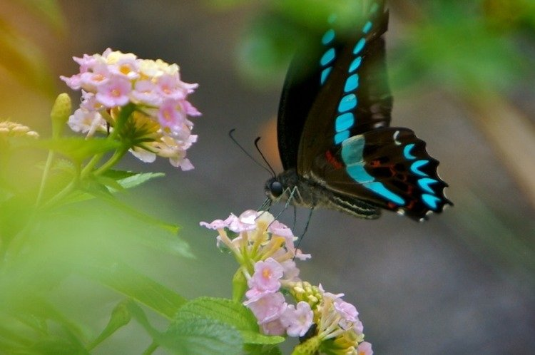 Blue Morpho Butterfly Photograph