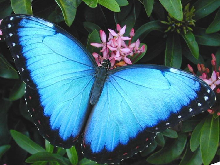 Blue Morpho Butterfly Wings