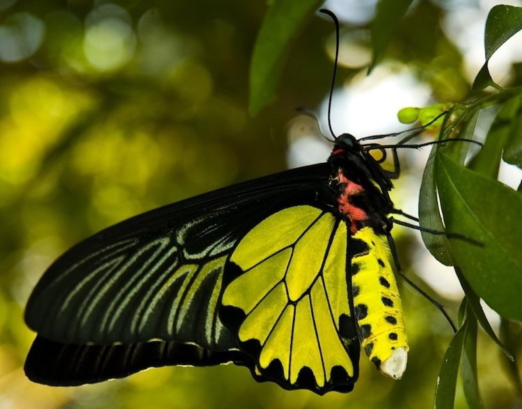 Most Beautiful Butterflies In The World Goliath Butterfly