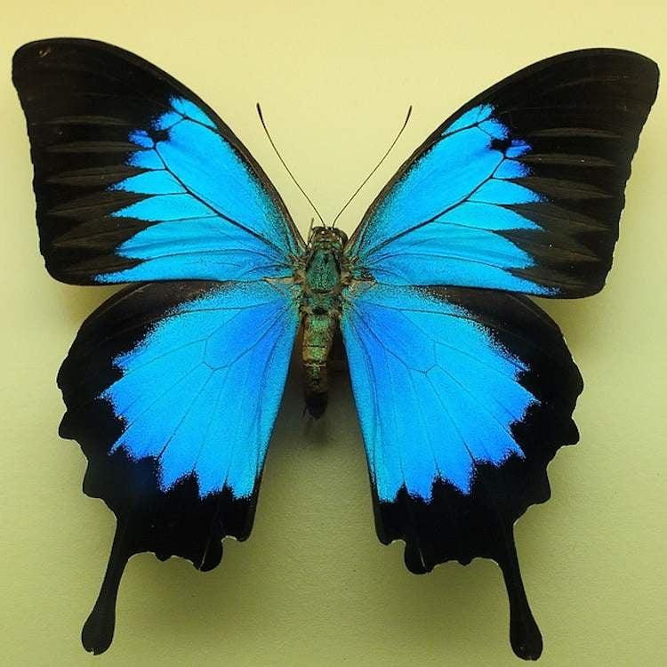 Blue Mountain Swallowtail