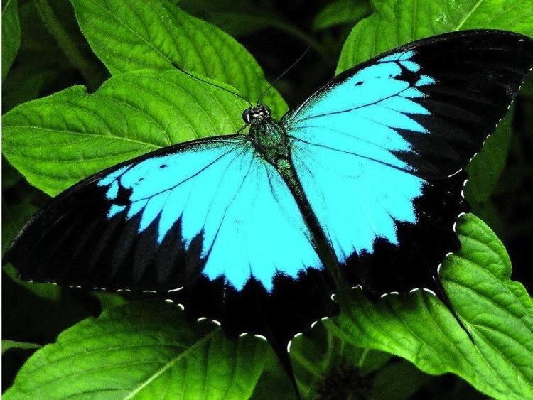 Ulysses Most Beautiful Butterflies