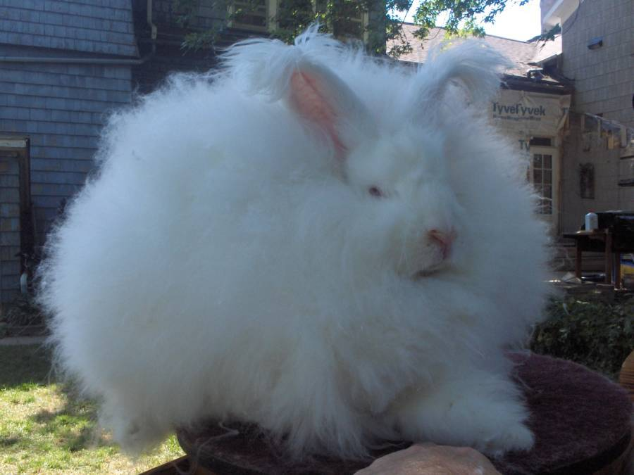 Angora Rabbit Buck Furry
