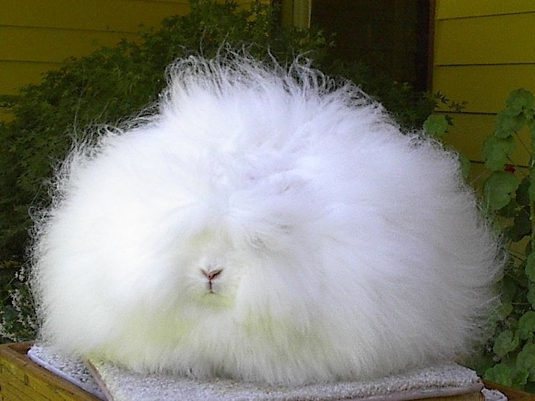 The World's Weirdest Animals Angora Rabbit