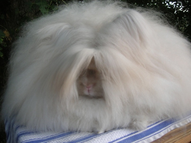 Weirdest Animals Angora Rabbits