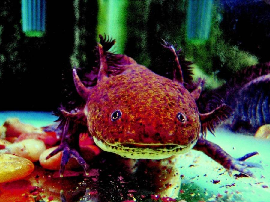 Axolotl Real Weird Animals