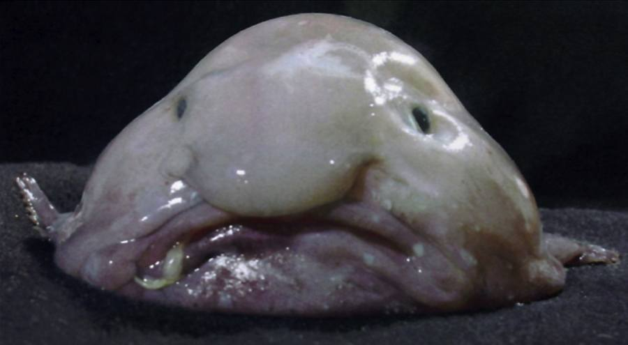 Blobfish Face Mouth Slime
