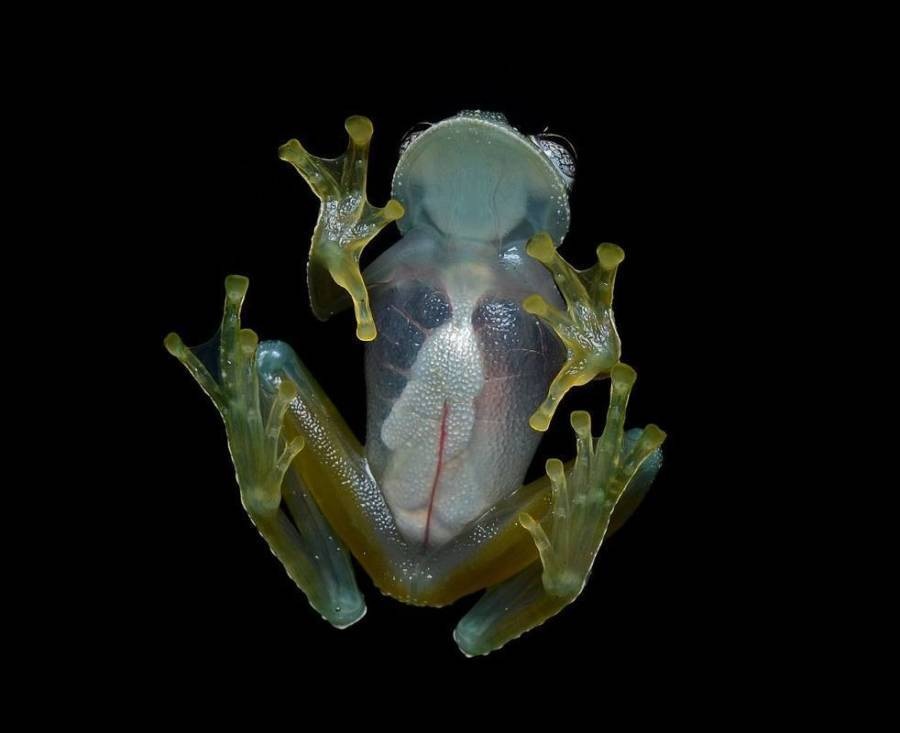 Glass Frog Weird Animals