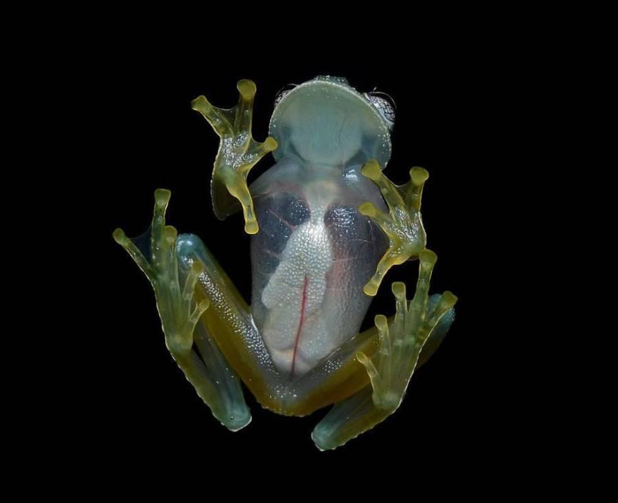 Glass Frog Weird Animals