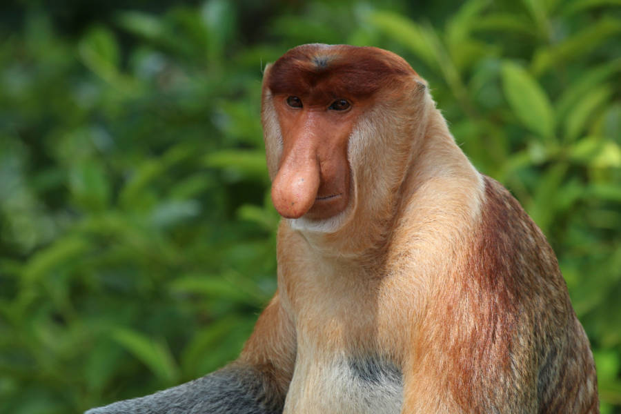 Long Nosed Proboscis Monkey
