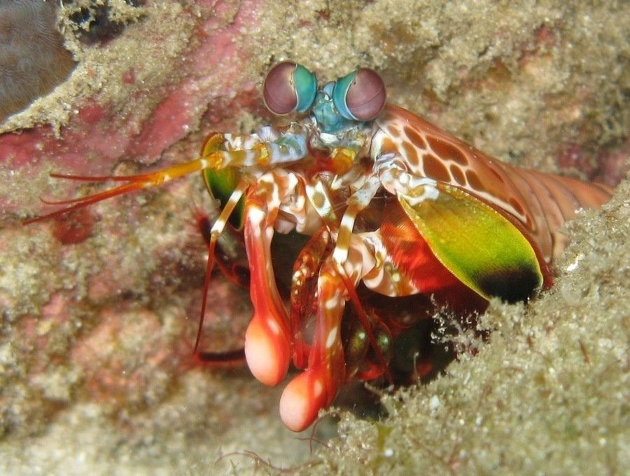 Mantis Shrimp Real Weird Animals