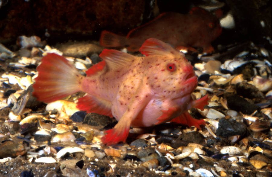 Red Handfish Pink
