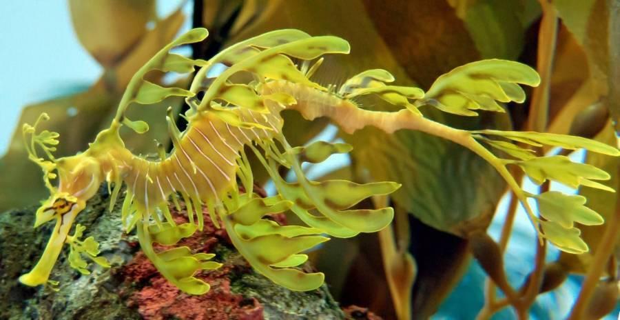 Leafy Sea Dragon Weirdest Animals On Earth