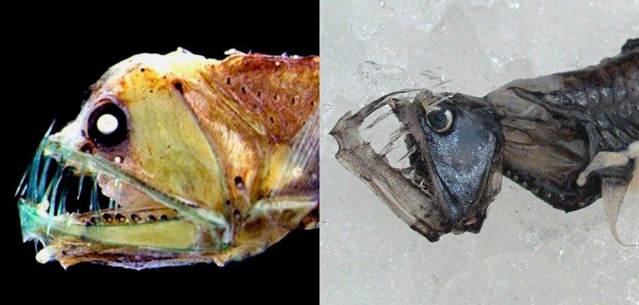 Two Sloanes Viperfish