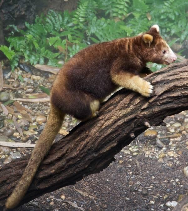 Weird Animals Tree Kangaroo