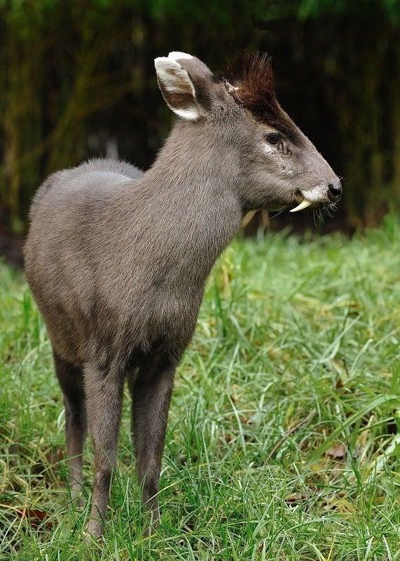 Weird Animals Tufted Deer