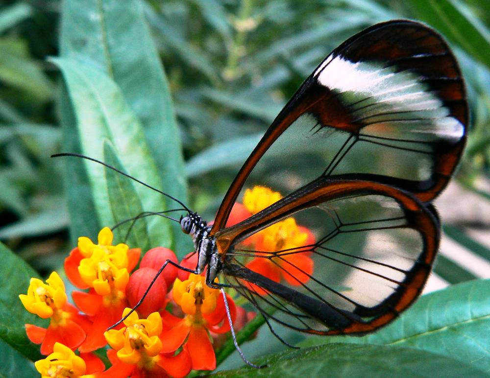 Incredible Glasswing Butterfly
