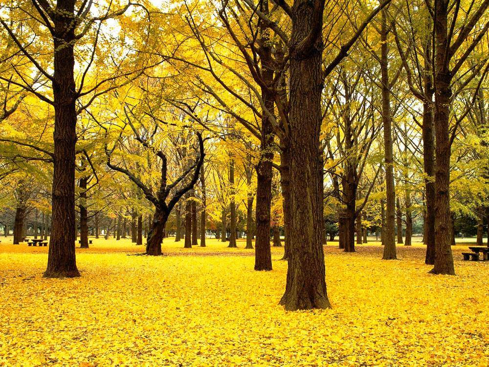 Japan Golden Forest Photo