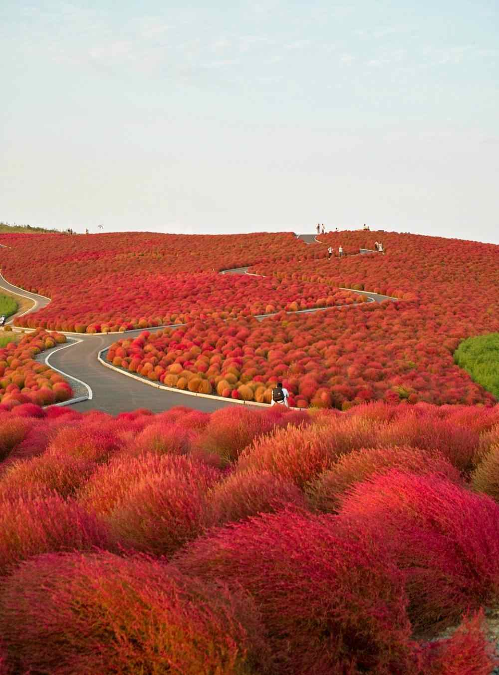 http://all-that-is-interesting.com/wordpress/wp-content/uploads/2012/04/kochia-hill-hitachinaka-city-japan.jpg