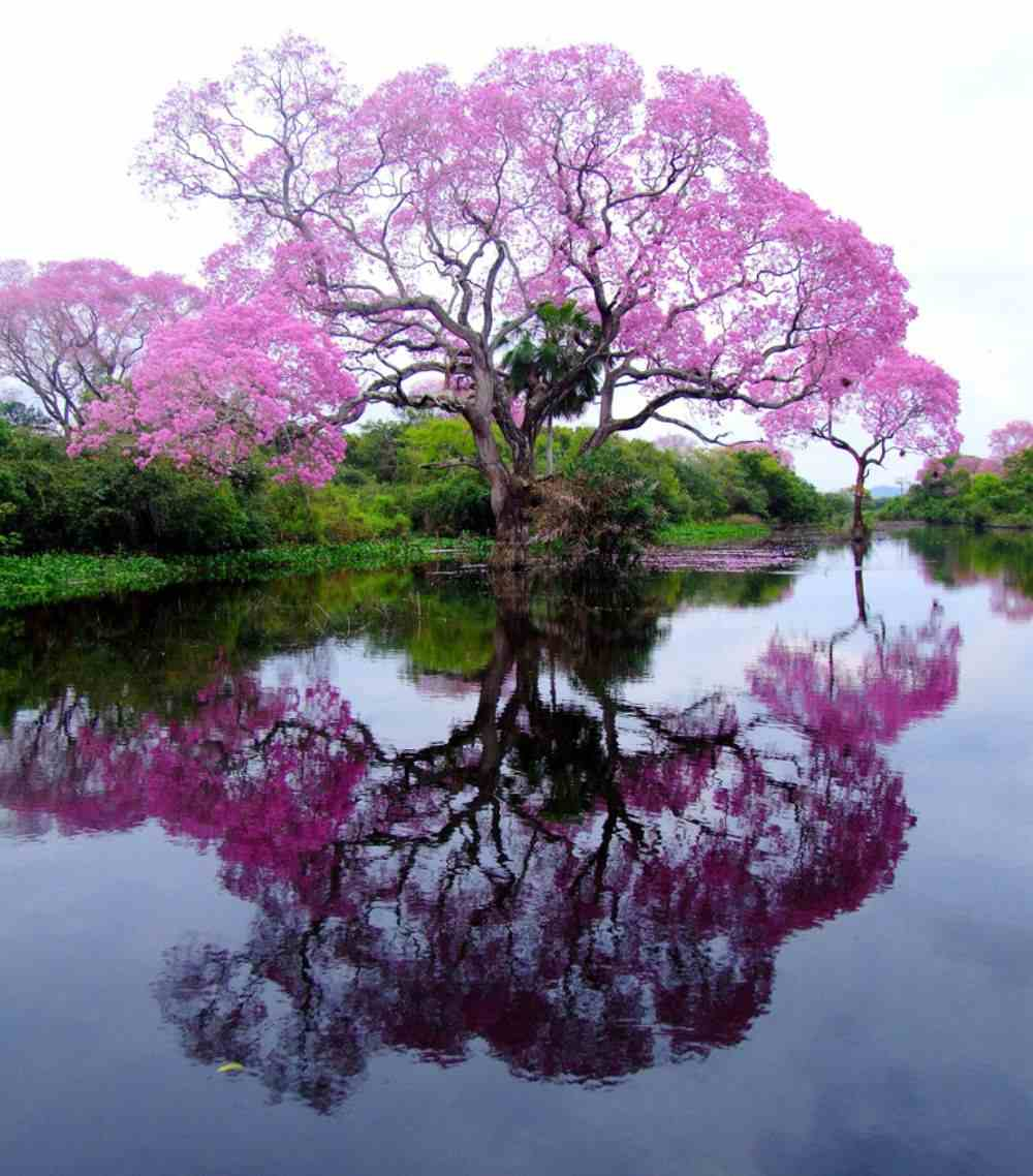 piuva tree brazil photograph The Pristine Piuva Tree Of Brazil